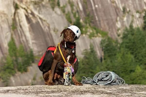 dog in climbing gear
